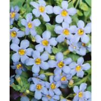 Bacopa ´Giga Blue´ / Bakopa fialovomodrá, bal. 6 ks sadbovačov