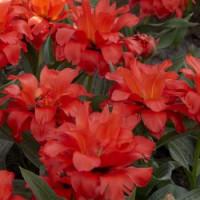 Tulipa ´Double Red Riding Hood´ / Tulipán ´Dvojitá Červená čiapočka´, bal. 5 ks, 11/12