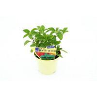 BIO Ocimum basilicum Thai / Thajská bazalka, K12