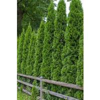 Thuja occidentalis ´Smaragd´ / Tuja smaragdová, 30-40 cm, C2 - AKCIA