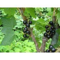 Ribes nigra ´Triton´ / Ríbezľa čierna, krík, 4-5 výh.