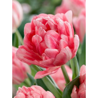 Tulipa ´Foxtrot´ / Tulipán, bal. 5 ks, 11/12
