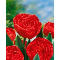 Tulipa ´Miranda´ / Tulipán, bal. 5 ks, 11/12