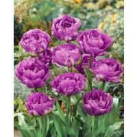 Tulipa ´Blue Wow´ / Tulipán, bal. 5 ks, 11/12