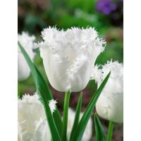 Tulipa ´Honeymoon´ / Tulipán, bal. 5 ks, 11/12