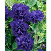 Petunia x atkinsiana ´Tumbelina® Belinda´ / Petúnia plnokvetá modrofialová, bal. 3 ks, 3x K7