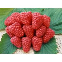 Rubus idaeus ´Heritage´ / Malina červená, C2
