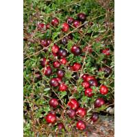 Vaccinium vitis-idaea ´Red Pearl´ / Brusnica , K9