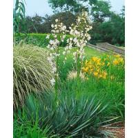 Yucca filamentosa / Juka vláknitá, C2