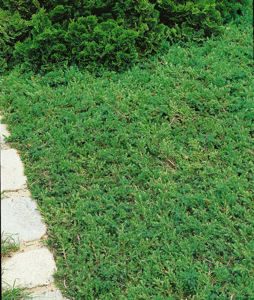 Juniperus Communis ´Green Carpet´ , Borievka, 15