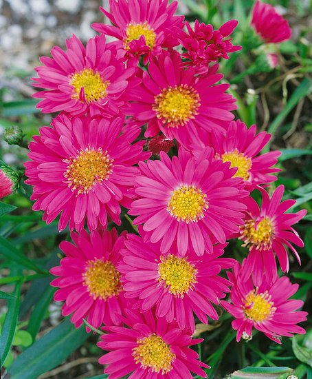 Astry kvety