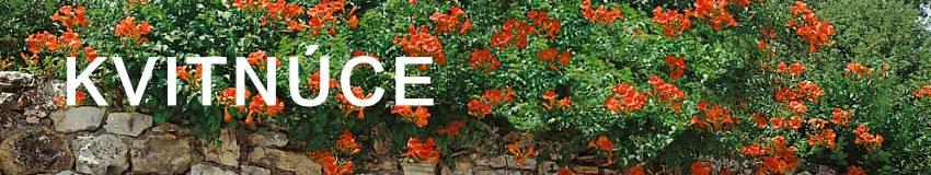Kvitnúce popínavé rastliny