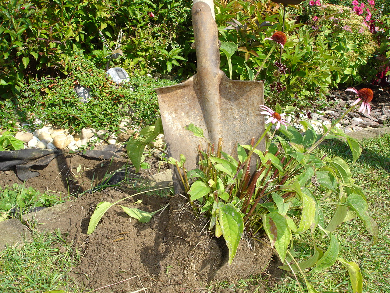 Echinacea rozmnožovanie