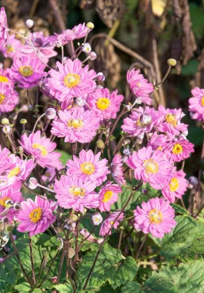 Okrasná výsadba do tieňa (Anemone)