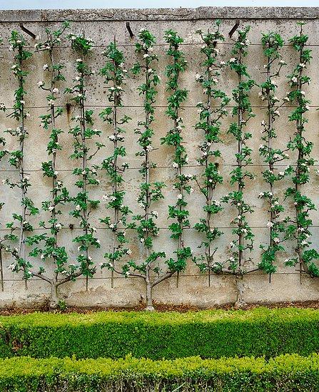 Pestovateľské tvary a steny z ovocných stromov