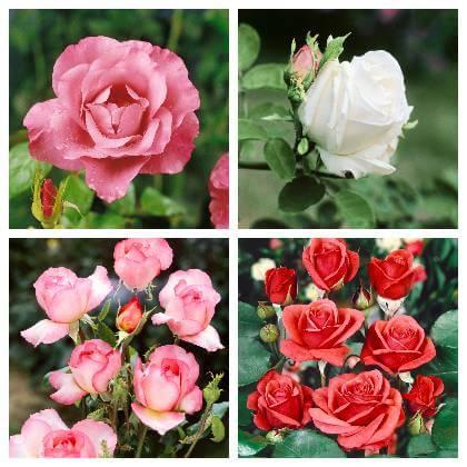 Ako sa starať o ruže