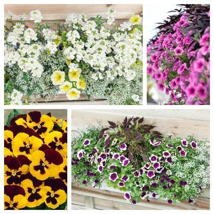 Balkonónové kvety a trvalky