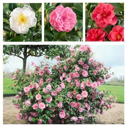 Camellia japonská