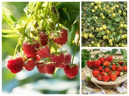 Drobné ovocie pestovanie