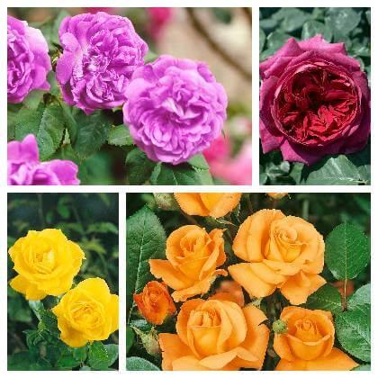 Druhy ruží
