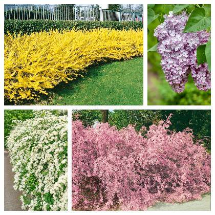 Kvitnúce živé ploty