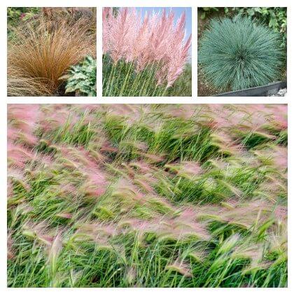 Okrasná tráva výber odrôd