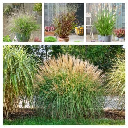 Okrasné trávy do nádob