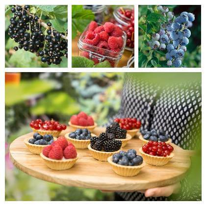 Ovocné kríky do záhrady