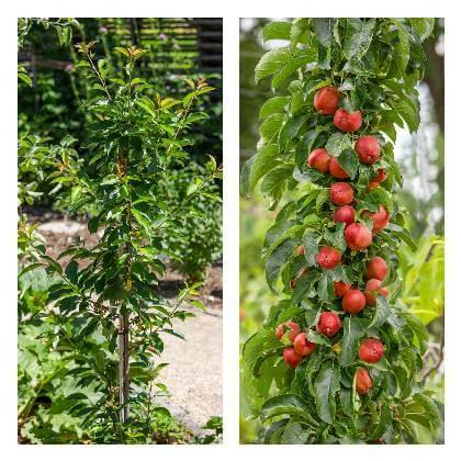 Ovocné strromy do okrasnej záhrady