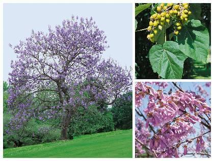 Paulovnia - okrasný strom do záhrady