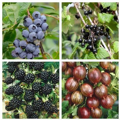 Pestovanie ovocných kríkov