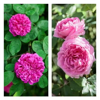 Pestovanie ruží v záhrade