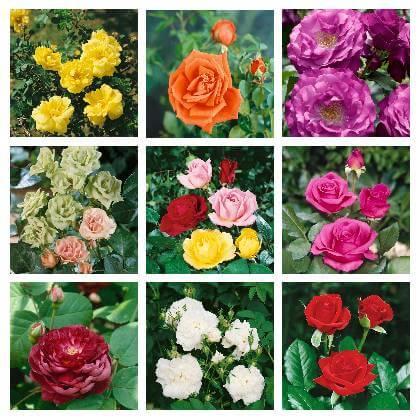 Strihanie ruží