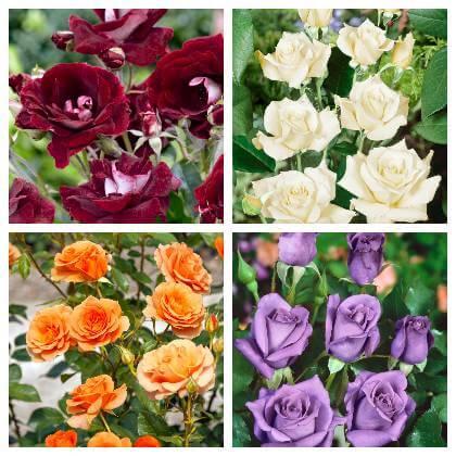 Ruža pestovanie