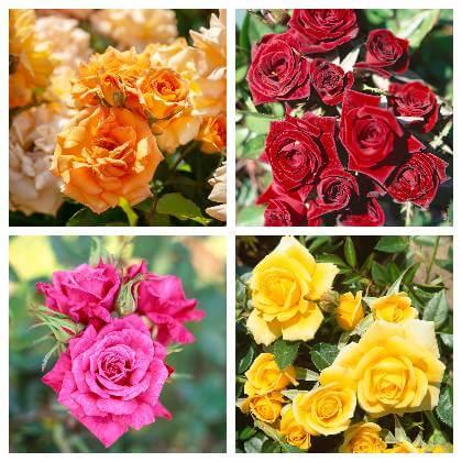 Ruže do záhrady