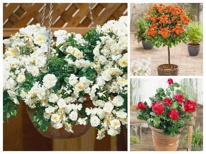 Ruže v kvetináči na balkóne