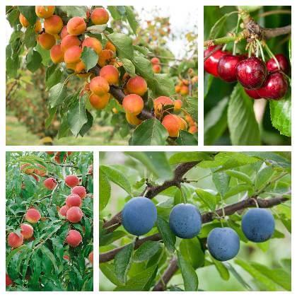 Samoopelivé a cudzoopelivé ovocné stromy
