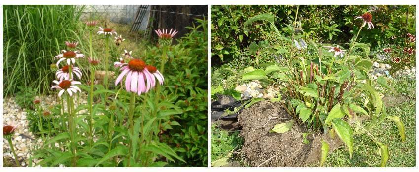 Rozmnožovanie trvaliek - výber a vykopanie rastlinyň