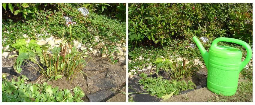 Rozmnožovanie trvaliek - rozdelienie rastliny