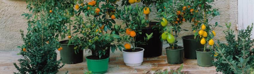 Balkńové ovocné stromy