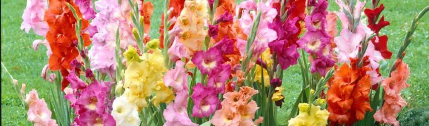 Gladioly pestovanie