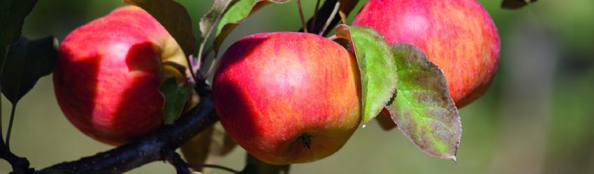 Jablone vhodné do vyšších polôh