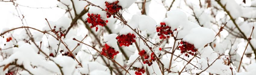 Kvitnúce kríky mrazuvzdorné
