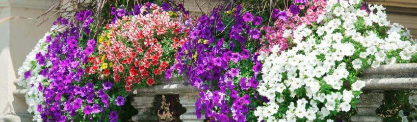Modré kvety na balkón