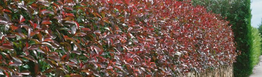 Neopadavé listnaté stromy