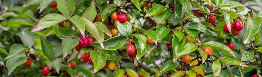 Netradičné drobné ovocie