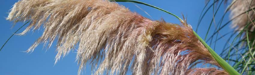 Okrasná tráva