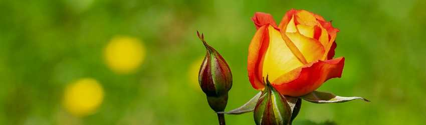 Pravidlá rezu ruží