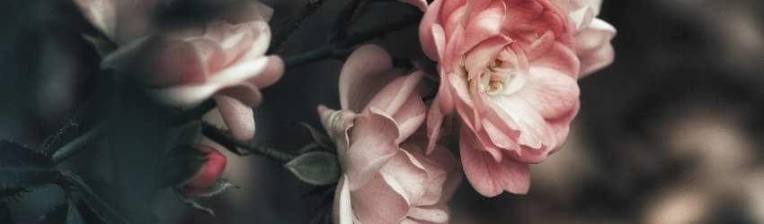 Návod ako pestovať ruže na balkóne a terase
