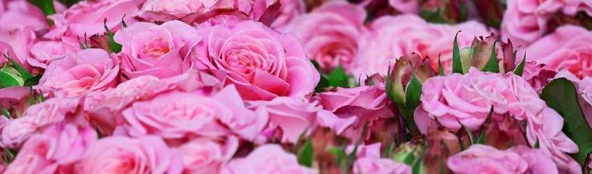 Návod na pestovanie ruží vo vlastnej záhrade